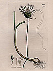 GARLIC CROW ALLIUM VINEALE James Sowerby English Botany 1809