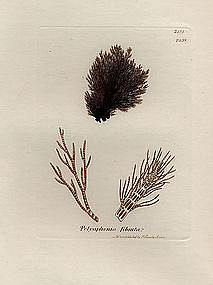 Sowerby English Botany, Fibrous-branched Conferva