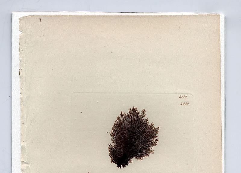 CONFERVA FIBROUS BRANCHED James Sowerby English Botany 1810 Britain