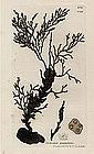Sowerby English Botany, Granulated Fucus