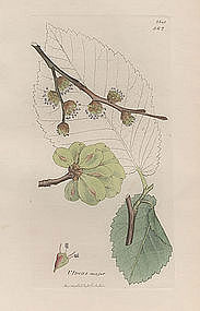 Sowerby English Botany, Dutch Elm