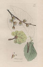 ELM DUTCH ULMUS MAJOR James Sowerby English Botany 1814 Britain