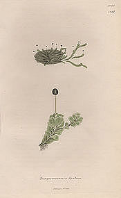 JUNGERMANNIA DIAPHANOUS HYALINA Sowerby English Botany 1831 Britain