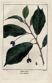 GUM TREE BLACK SOUR North American Sylva Michaux 1857 Philadelphia