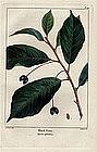 North American Sylva Black Gum