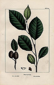 North American Sylva Sea-side Alder