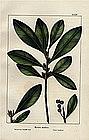 CANDLE TREE North American Sylva Michaux 1857 Philadelphia