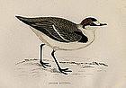 Morris History of British Birds Kentish Dotterel