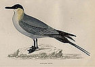 SKUA BUFFON'S Engravng Morris History British Birds London