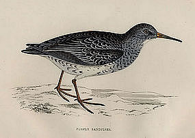 Morris History of British Birds Purple Sandpiper