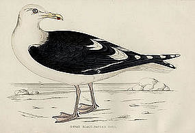GULL GREAT BLACK BACKED Engraving Morris History British Birds London