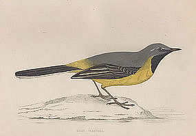 WAGTAIL GREY Engraving Morris History British Birds London Antique