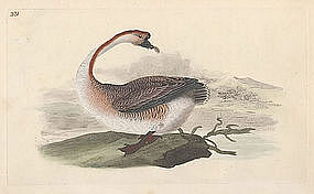 GOOSE CHINESE Engraving Donovan History British Birds 1795 London