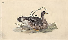 GOOSE GREYLAG Engraving Donovan Edward British Birds 1795 London