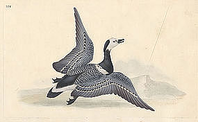 GOOSE BERNACLE Engraving Edward Donovan British Birds 1795 London