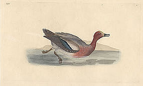 WIGEON PENELOPE Engraving Donovan History British Birds 1795 London