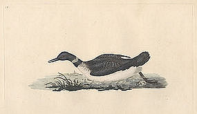 DIVER NORTHERN ARCTIC Donovan British Birds 1795 London