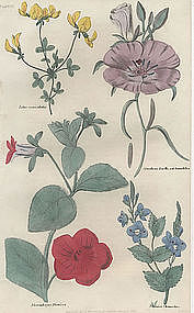 VERONICA LOTUS ENOTHERA Floricultural Cabinet Harrison 1833 London