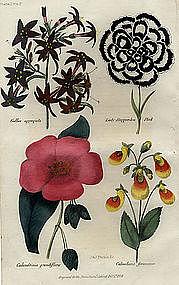 CALANDRINIA CALCEOLARIA LADY HAGGERSTON Floricultural Cabinet Harrison