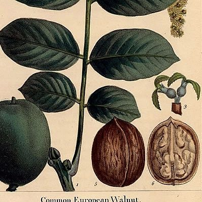 WALNUT EUROPEAN Michaux Bessa North American Sylva 1857 Philadelphia