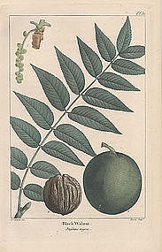 WALNUT BLACK Michaux Redoute North American Sylva 1857 Philadelphia