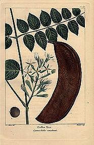 North American Sylva Coffee Tree