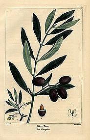 OLIVE TREE North American Sylva Michaux 1857 Philadelphia