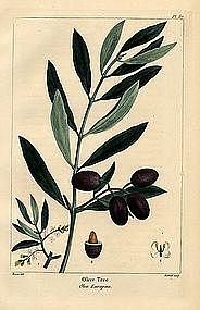 North American Sylva Olive Tree