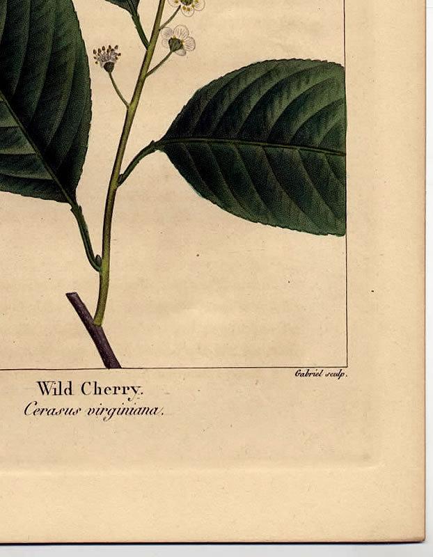 North American Sylva Wild Cherry