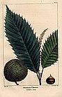 North American Sylva American Chestnut