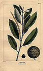 CHINCAPIN CHESTNUT North American Sylva Michaux 1857 Philadelphia