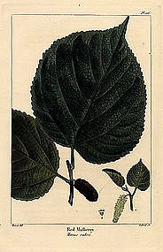 North American Sylva Red Mulberry