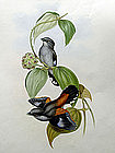 Gould Birds of Asia Antique Print Eurylaime