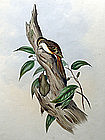 CREEPER NEPAULESE John Gould Birds Asia Antique London