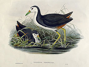 WATERHEN WHITE BREASTED John Gould Richter Birds Asia Antique London
