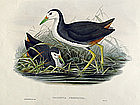 Gould Birds of Asia Antique Print Waterhen