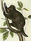 Canada Porcupine Audubon Hand Colored Lithograph