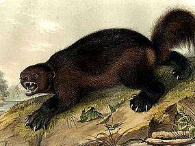 Wolverine Audubon Hand Colored Lithograph