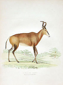 Hartebeest Zoology Smith Hand Colored Lithograph