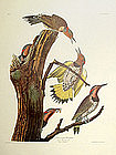 WOODPECKER GOLDEN WINGED John Audubon Birds America Amsterdam 1972