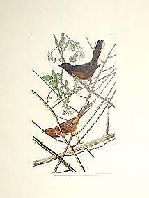Audubon Birds of America Towhee Bunting