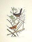 BUNTING TOWHE John Audubon Birds America Amsterdam 1972 New York
