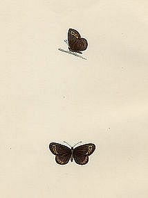 Morris History of British Butterflies Small Ringlet