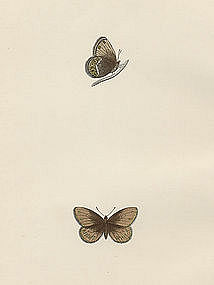 Morris British Butterflies Silver Bordered Ringlet