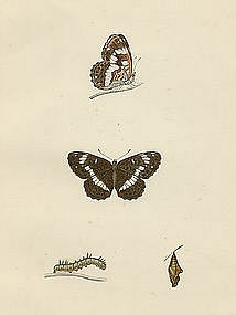 Morris History British Butterflies White Admiral