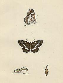 ADMIRAL WHITE Morris History British Butterflies London 1876