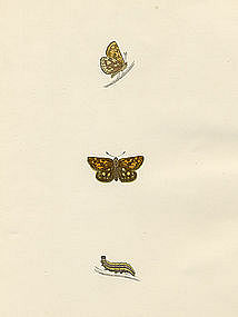SKIPPER SPOTTED Lithograph Morris History British Butterflies London