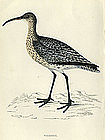 Morris History of British Birds Whimbrel