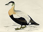 Morris History of British Birds Eider Duck