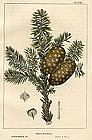 North American Sylva Balsam Fir